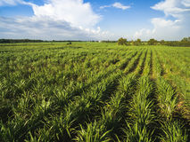 Sugarcane field with blue sky Stock Photos