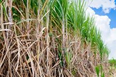 sugarcane field Royalty Free Stock Image
