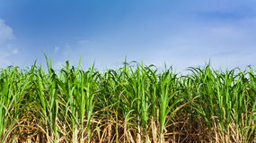 Sugarcane field in blue sky and white cloud Royalty Free Stock Photos