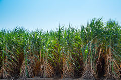 Sugarcane field in blue sky and white cloud in Thailand Stock Image
