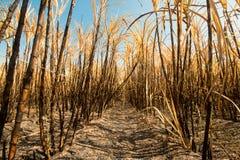Sugarcane field burning Stock Image