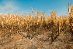 Sugarcane field burning Royalty Free Stock Image