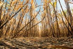 Sugarcane field burning Royalty Free Stock Photo