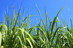 Sugarcane field closeup Stock Photos