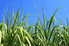 Sugarcane field closeup Stock Photos