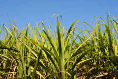 Sugarcane field closeup Royalty Free Stock Photography
