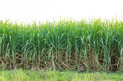 Sugarcane field in cloudy sky in Thailand Royalty Free Stock Photos