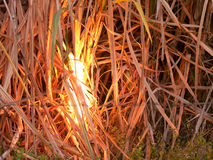 Sugarcane field on fire Royalty Free Stock Photos