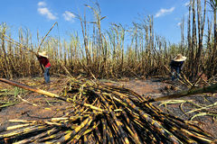 Sugarcane field fired Stock Photos