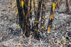 Sugarcane field. Fired. This harvest method make global warming Stock Image