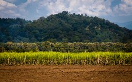 Sugarcane Field on the Foot Hill. Sugarcane crop against the backdrop of Mountain and forest Stock Photos