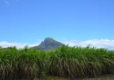 Sugarcane. Field in inland, Mauritius Stock Photo