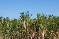 Sugarcane field Stock Image