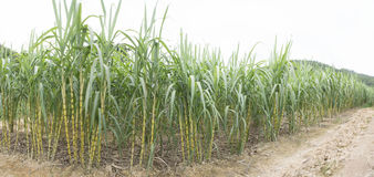 Sugarcane Field Royalty Free Stock Photos