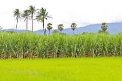 Sugarcane field and rice field Stock Photo