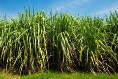 Sugarcane field and road with white cloud Royalty Free Stock Photo