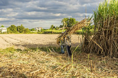 Sugarcane Field in the sun, Tay Ninh province, Vietnam Royalty Free Stock Images
