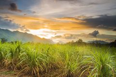 Sugarcane field. With sunset Royalty Free Stock Images