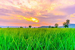 Sugarcane field at sunset with sun Stock Images