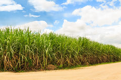 Sugarcane field in Thailand Royalty Free Stock Images