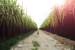 Sugarcane field and trail. In the field Stock Photos