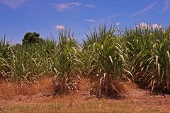 Sugarcane field,weed died from post emergence herbicide. Post emergence herbicide application Royalty Free Stock Photo