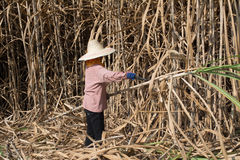 Sugarcane field and worker Royalty Free Stock Image