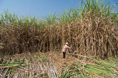 Sugarcane field and worker Royalty Free Stock Photos