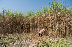Sugarcane field and worker Stock Images