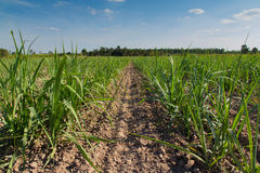Sugarcane fields Stock Image