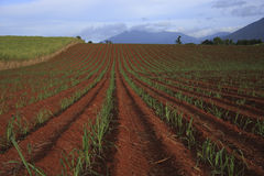 Sugarcane Fields. Newly planted sugarcane in ploughed fields with distant mountains Stock Image