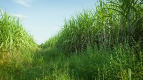 Sugarcane fields. Thailand, Sukhothai Royalty Free Stock Photo