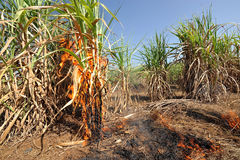 Sugarcane on Fire in thailand Stock Image