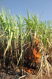 Sugarcane on Fire in thailand Stock Photos