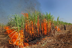 Sugarcane on Fire in thailand Stock Images