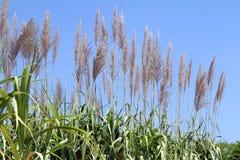Sugar cane flower, Sugarcane plantation, Sugarcane plants grow in field, Plantation Sugar cane tree farm, Background of sugarcane. The Sugar cane flower stock photo