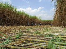 Sugarcane harvest Royalty Free Stock Photo