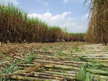 Sugarcane harvest Royalty Free Stock Photo