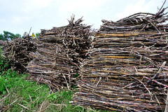 Sugarcane harvest Stock Image