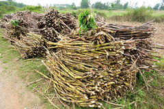 Sugarcane harvest Royalty Free Stock Photography