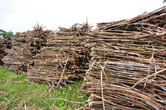 Sugarcane harvest Royalty Free Stock Image
