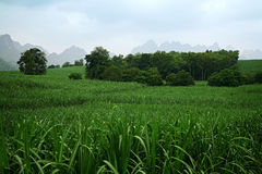 Sugarcane land on the way. China, Guangxi China Royalty Free Stock Photo