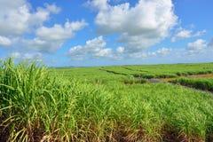 Sugarcane. Mauritius Stock Photography