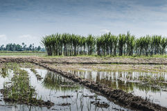 Sugarcane in padi field. A row of sugarcane crossing the padi field stock image