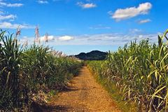 Sugarcane path stock photos