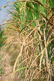 Sugarcane. Plant in the plantation Royalty Free Stock Images