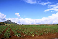 Sugarcane plantation Royalty Free Stock Images