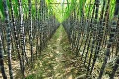 Sugarcane plantation stock photos