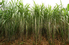 Sugarcane plantation royalty free stock photography
