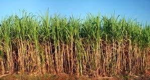 Sugarcane plantation Royalty Free Stock Photos